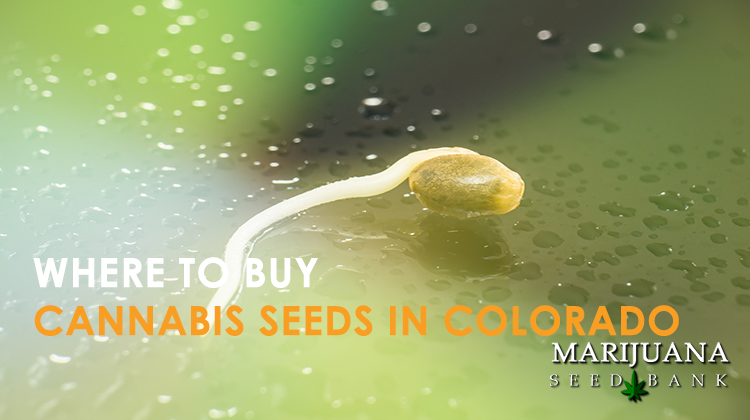 how to buy cannabis seeds in colorado