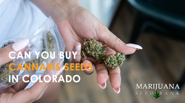 can you buy cannabis seeds in colorado
